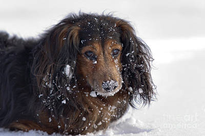 Dachshund In The Winter Poster by Michal Boubin