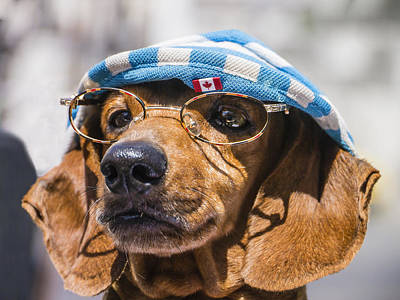 Dacsuhund With Hat And Eyeglasses Poster by David Litschel