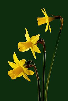 Daffodil Arrangment Poster