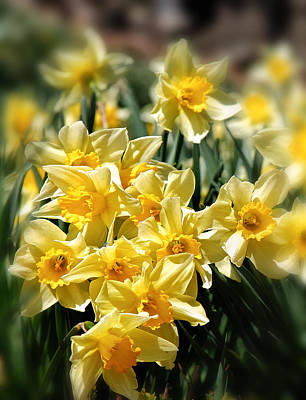 Daffodil Poster by Bill Wakeley