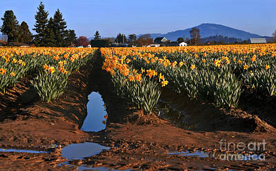 Daffodil Field After A Spring Rain Poster