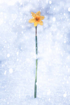 Daffodil In Snow Poster