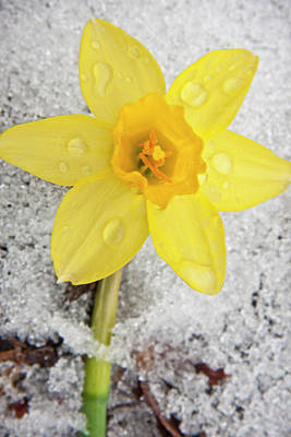 Daffodil In Spring Snow Poster by Adam Romanowicz