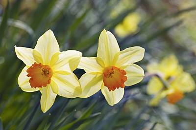 Daffodil (narcissus 'red Devon' Poster by Science Photo Library