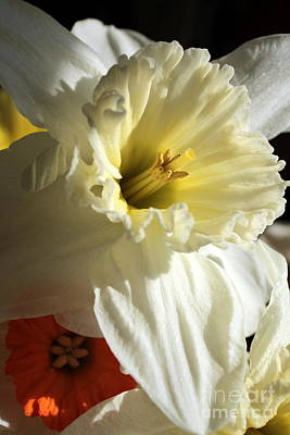 Daffodil Still Life Poster by Kenny Glotfelty
