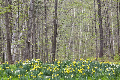 Daffodil Woods Poster