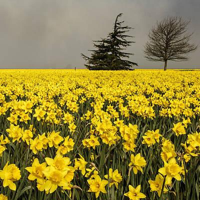 Daffodils A Plenty Poster