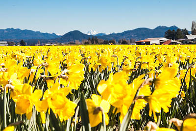 Daffodils And Snow-capped Mountains Poster