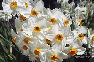Daffodils (narcissus 'geranium') Poster by Neil Joy