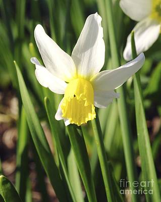 Daffodils (narcissus 'pipit') Poster by Neil Joy