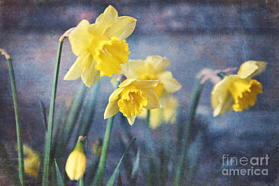 Poster featuring the photograph Daffodils by Sylvia Cook