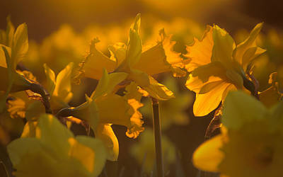 Daffs At Sunset Poster by Chris Fletcher