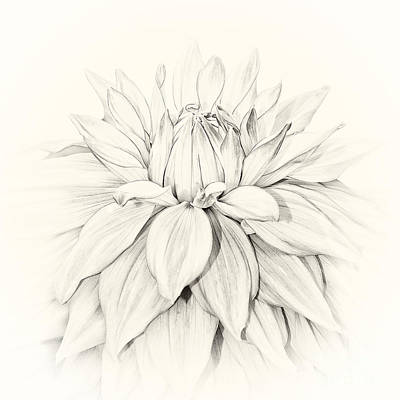 Dahlia 3 Poster by Janet Burdon