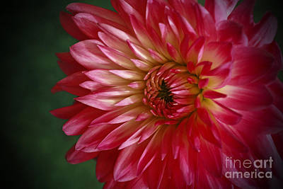Dahlia Delight Poster by Inspired Nature Photography Fine Art Photography