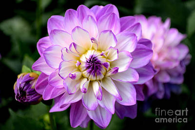 Poster featuring the photograph Dahlia Flower With Purple Tips by Scott Lyons