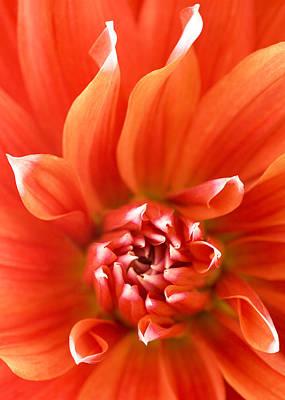 Dahlia II - Orange Poster by Natalie Kinnear