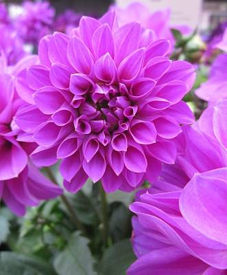 Dahlia In Pink Poster