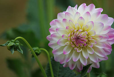 Dahlia In The Mist Poster by Jeanette C Landstrom