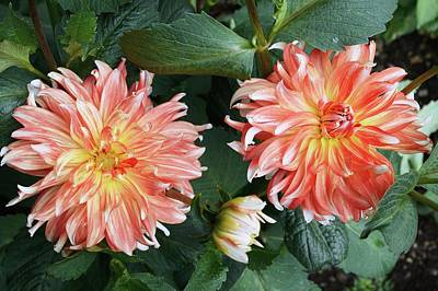 Dahlia 'penny Lane' Flowers Poster by D C Robinson