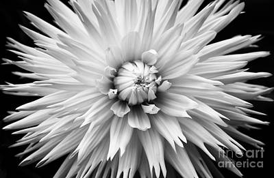 Dahlia White Lace Poster by Tim Gainey