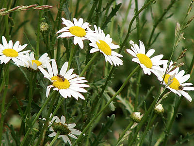Daisies 1 Poster