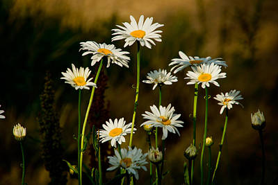 Poster featuring the photograph Daisies At Rancho San Rafael by Janis Knight