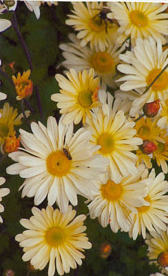 Daisies Poster by Barb Baker