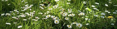 Daisies Blooming In A Field Poster by Panoramic Images