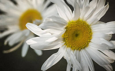 Daisies Poster by Eduard Moldoveanu