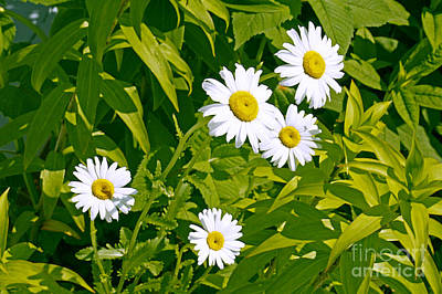 Daisies In Provincetown Poster