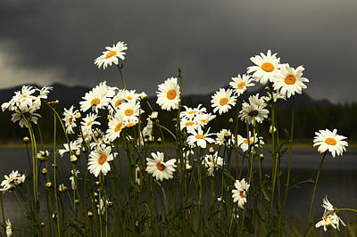 Daisies In Storm Light Poster