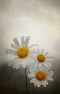 Daisies Poster by Svetlana Sewell