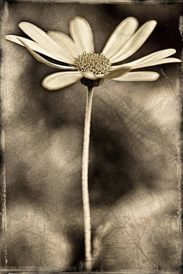 Daisy On Metal Poster by Carol Leigh
