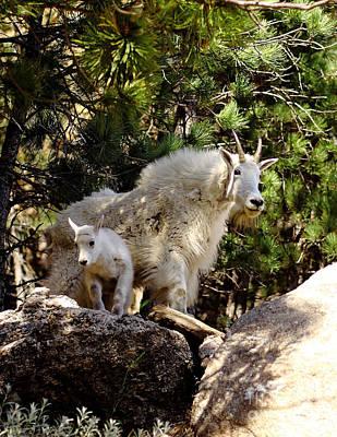 Dakota Mountain Goats Poster by Robert Frederick