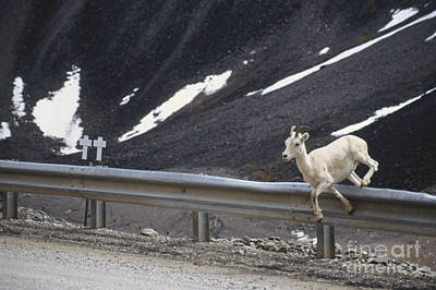 Dall Sheep Jumps Guardrail Poster by Mark Newman