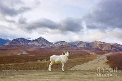 Dalls Sheep Ram Denali National Park Poster