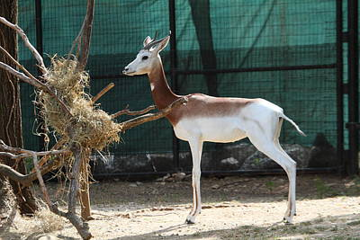 Dama Gazelle - National Zoo - 01136 Poster