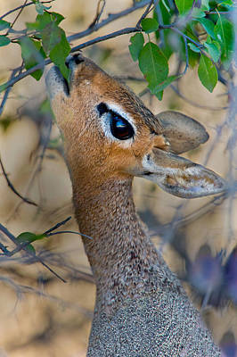 Damara Dik-dik Madoqua Kirkii Feeding Poster by Panoramic Images