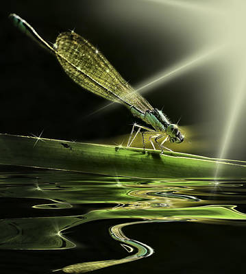 Damsel Dragon Fly  With Sparkling Reflection Poster