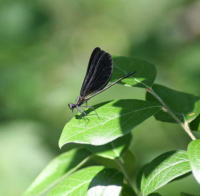 Poster featuring the photograph Damselfly  by Karen Silvestri