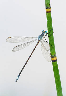 Damselfly On Horsetail Poster