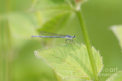 Damselfly On Leaf Poster