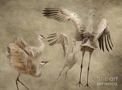 Dance Of The Sandhill Crane Poster