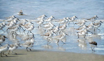 Dance Of The Sandpipers Poster