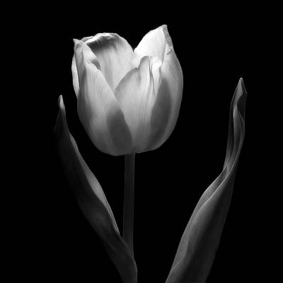 Abstract Black And White Tulips Flowers Art Work Photography Poster by Artecco Fine Art Photography