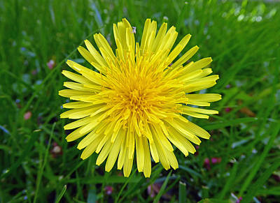 Poster featuring the photograph Dandelion And Spider by Laurie Tsemak