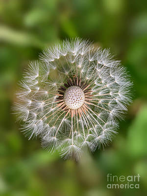 Poster featuring the photograph Dandelion by Carsten Reisinger