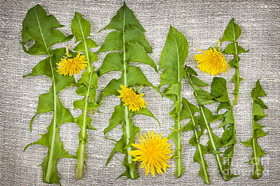 Dandelion Greens And Flowers Poster by Elena Elisseeva