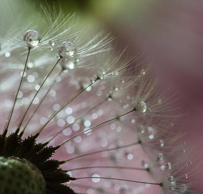 Dandelion Pearls Poster by Angie Vogel