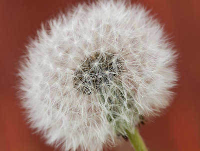 Dandelion Seed On Red Poster by Gillian Dernie